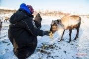 Feeding reindeers in Kilpisjärvi