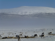 Observing reindeer herding in Kilpisjärvi  with Kilpissafarit
